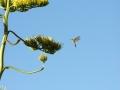 colibr_1